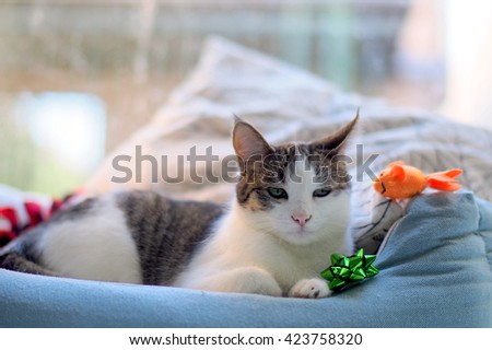 Beautiful Bi Color Brown White Tabby Domestic Short Cat Laying in Cat Bed with Window in the background - stock photo