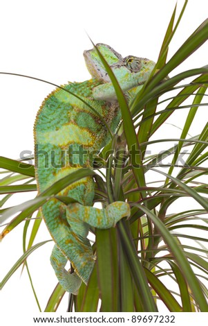 Beautiful big chameleon sitting on a flower
