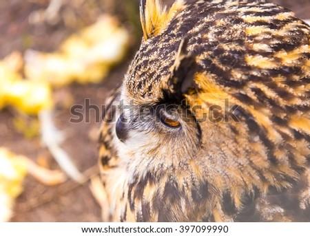 Beautiful big eagle-owl portrait. Predator bird portrait - stock photo