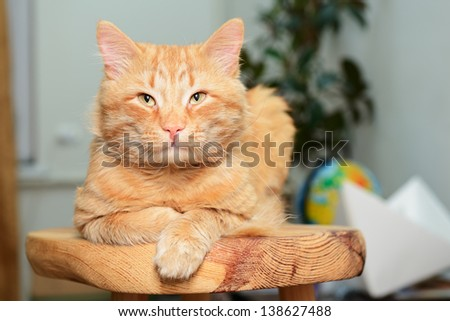 Beautiful big red cat lying and posing at home on wooden stool - stock photo