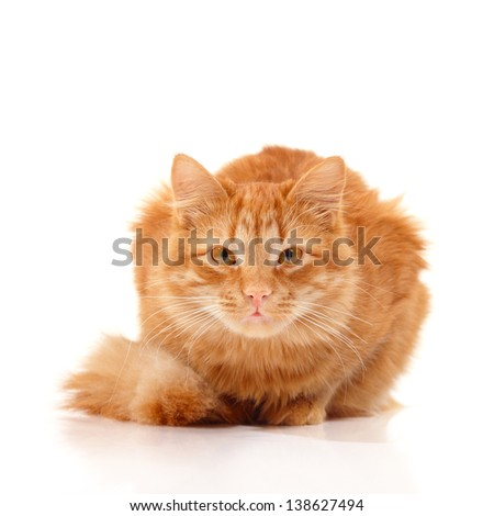Beautiful big red cat lying and posing at studio looking at camera, white background - stock photo