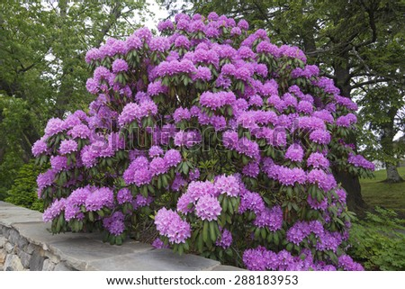 Beautiful big rhododendron bush big pink stock photo royalty free beautiful big rhododendron bush with big pink flower clusters next to wall in outdoor landscape mightylinksfo