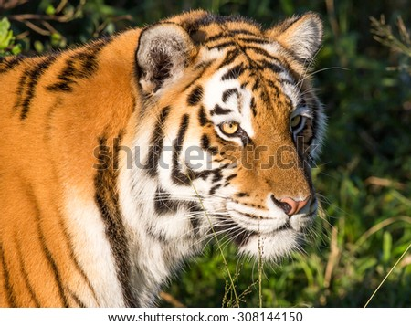 Beautiful big  tiger wild cat with striped fur and long whiskers - stock photo