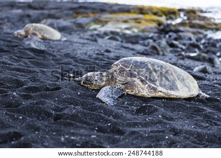 beautiful big turtle lying on black sand - Hawaii island - stock photo
