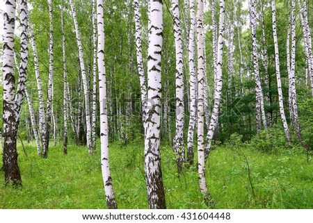 Beautiful birch trees. A summer landscape.