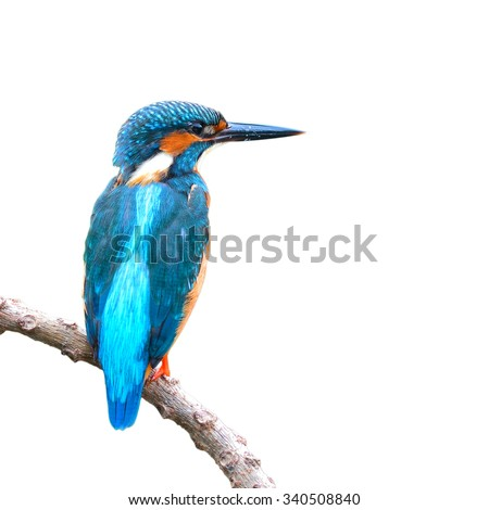 Beautiful bird a male Common Kingfisher (Alcedo atthis) isolated on white background. - stock photo