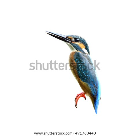 Beautiful bird a male Common Kingfisher isolated on white background, Alcedo atthis