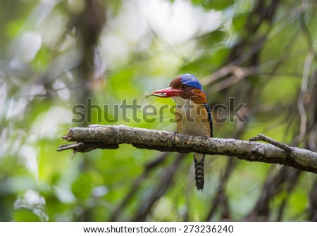 beautiful bird banded kingfisher in nature