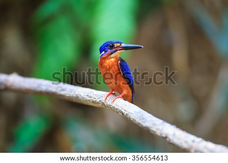Beautiful Bird. Blue-eared Kingfisher in Thailand.