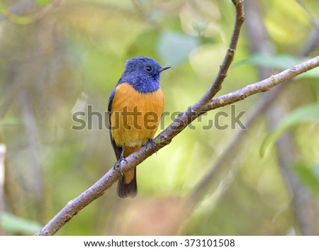 Beautiful bird, Blue-fronted Redstart (Phoenicurus frontalis) standing on a branch