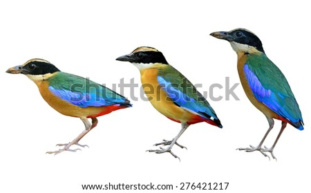 Beautiful bird, Blue winged Pitta isolated on white background(Pitta moluccensis)