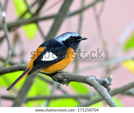 Beautiful bird, Daurian Redstart perching on the branch with nice pink background (Phoenicurus auroreus)