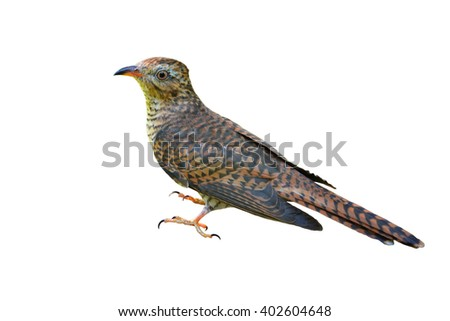 Beautiful bird, female of Plaintive Cuckoo (Cacomantis merulinus) on white background. - stock photo