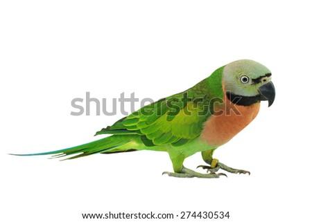 Beautiful bird, female Red-breasted Parakeet isolated on white background (Psittacula alexandri) - stock photo
