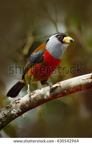 Beautiful bird from tropic forest. Exotic grey and red bird, Toucan Barbet, Semnornis ramphastinus, Bellavista, Ecuador. Red toucan from Ecuador. Bird from jungle.  - stock photo