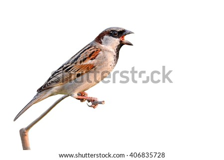 Beautiful bird, House Sparrow (Passer domesticus) perching on a branch, white background. - stock photo