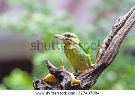 Beautiful bird Lineated Barbet (Megalaima linerta), Asian Barbets eating bana on branch - stock photo