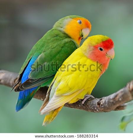 Beautiful bird, Lovebird, standing on a branch, back profile - stock photo