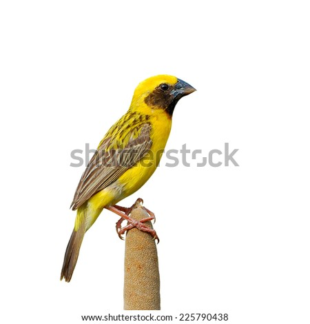 Beautiful bird,male Asian Golden Weaver isolated on white background(Ploceus hypoxanthus).