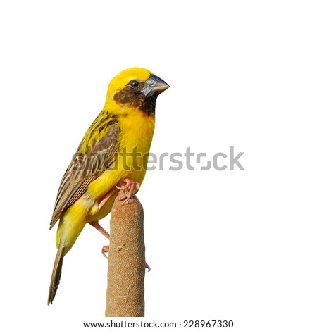 Beautiful bird, male Asian Golden Weaver isolated on white background (Ploceus hypoxanthus).