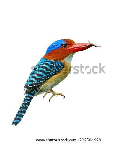 Beautiful bird, Male Banded Kingfisher has lizard on his bill isolated on white background.He is feeding his children at Khao Yai National Park ,Nakhonratchasrima Thailand.(Lacedo pulchella) - stock photo