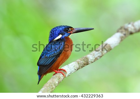 Beautiful bird, male Blue-eared Kingfisher perched on branch.(Alcedo meninting)
