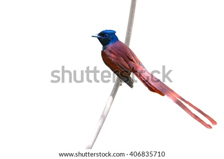 Beautiful bird, male of Asian paradise flycatcher (Terpsiphone paradisi) perching on a branch, white background - stock photo