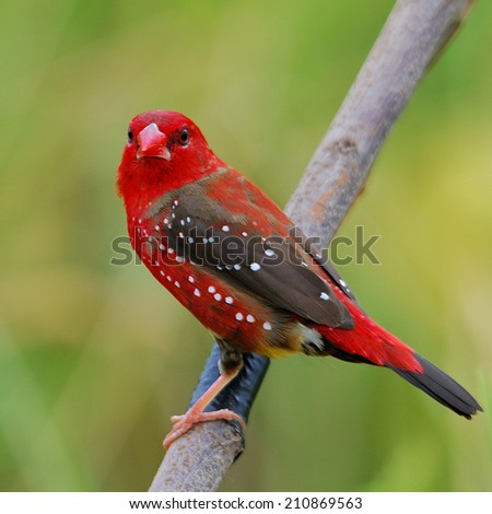 Beautiful bird male Red Avadavat on branch(Amandava amandava)