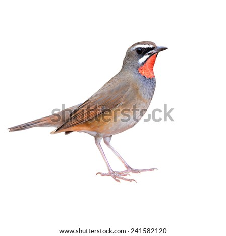 Beautiful bird, male Siberian Rubythroat isolated on white background(Luscinia Sibilans)
