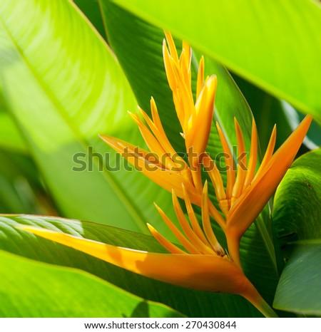 Beautiful Bird of Paradise flower, known as Strelitzia - stock photo