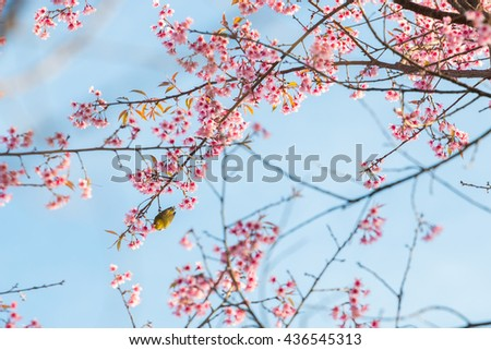 beautiful bird on Cherry blossom flower or Himalayan Cherry flower