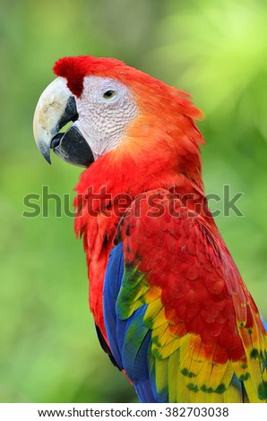 Beautiful bird Scarlet Macaw on green background.