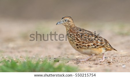 Beautiful bird, Small Buttonquail ( Turnix sylvatica ) walk for food on the ground , in nature of Thailand, Bird of Thailand