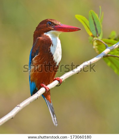 Beautiful bird, white-throated kingfisher(Halcyon smyrnensis) perching on a branch - stock photo