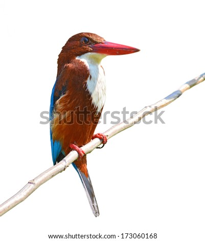 Beautiful bird, white-throated kingfisher(Halcyon smyrnensis) perching on a branch, white background