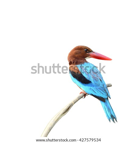 Beautiful bird White-throated Kingfisher isolated on white background, halcyon smymensis