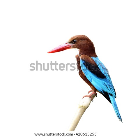 Beautiful bird White-throated Kingfisher perched on branch isolated on white background, halcyon smymensis
