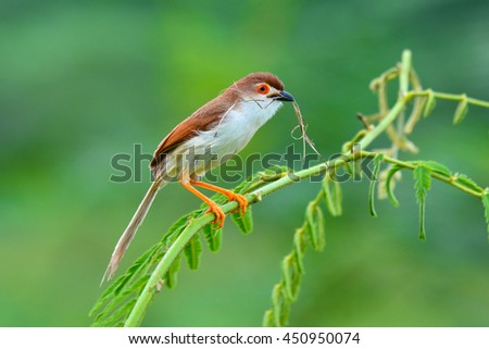 Beautiful bird, Yellow-eyed Babbler (Chrysomma sinense) perching on a branch, take of Thailand - stock photo