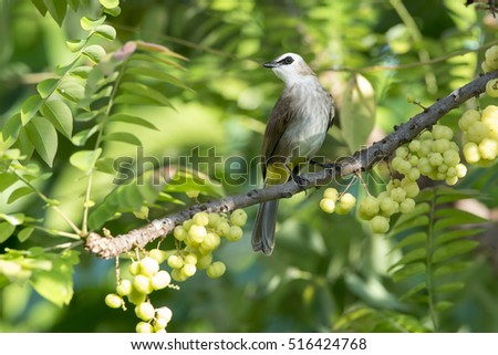 Beautiful bird , Yellow-vented bulbul (Pycnonotus goiavier)