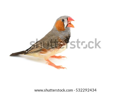Beautiful bird, Zebra Finch (Taeniopygia guttata) perching on a branch isolated on white background.