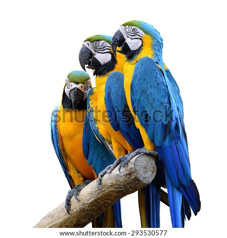Beautiful birds Blue and Gold Macaw isolated on white background.