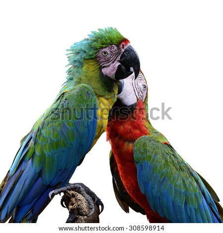 Beautiful birds Buffon's Macaw and Harlequin Macaw isolated on white background
