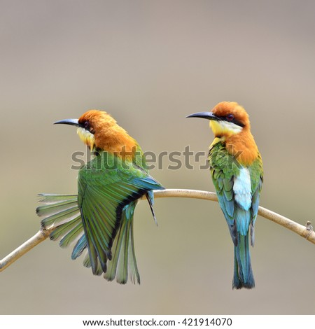 Beautiful birds the dual Chestnut headed Bee eater perched on branch (Merops leschenaulti)