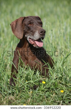 Beautiful bitch of German Shorthaired Pointer in nature - stock photo