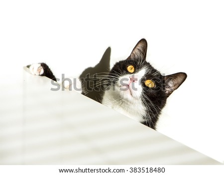 Beautiful black and white cat with yellow eyes on white background. Cat looking up and waiting, curiosity watching. B&W cat eagerly looking, standing near table, ready to eat.Paws on the white table. - stock photo