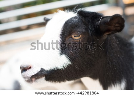 Beautiful black and white goat