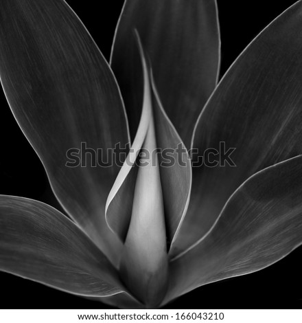 Beautiful Black and white Image of a Blue Agave Plant - stock photo