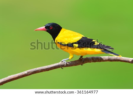 Beautiful black and yellow bird (Black-hooded Oriole, Oriolus xanthornus) perching on a branch