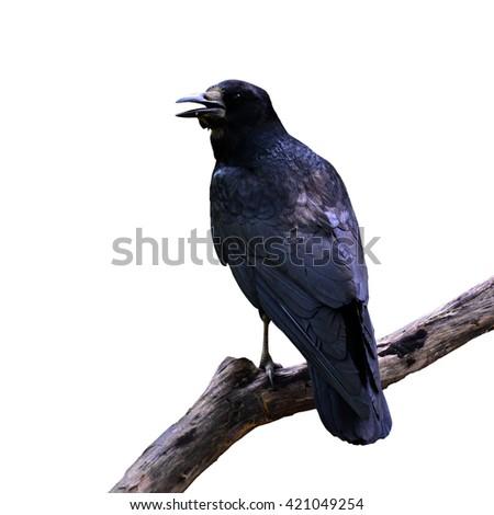 Beautiful black bird, Rook (Corvus frugilegus) perching on a branch on white background. - stock photo