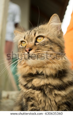 Beautiful Black Brown cat with yellow eyes. Fluffy cats sitting outdoor. Portrait of adorable tabby cat at Krabi,Thailand. Close up of feline cat face with long fluffy haired like a little tiger.